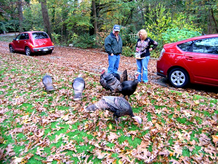 Lia with my neighbor, Jim Farrell, with the wild turkeys in our driveway