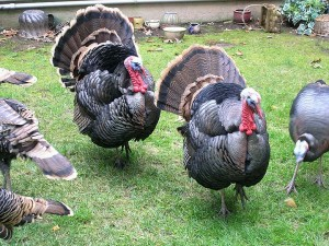 The alpha male turkeys