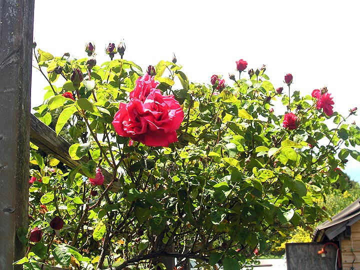 Roses in bloom in Villa La Angostura, Argentina, January 2, 2010