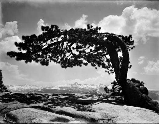 The Jeffrey Pine Tree in Yosemite, one of Norsigian's images
